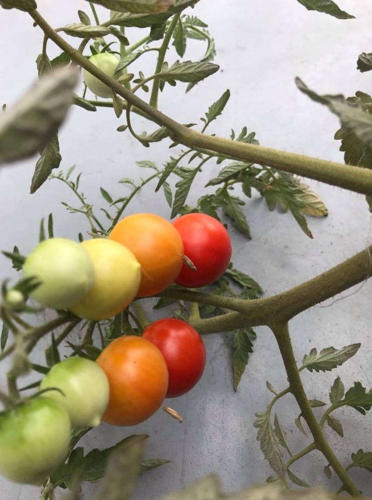 屋上のミニトマト