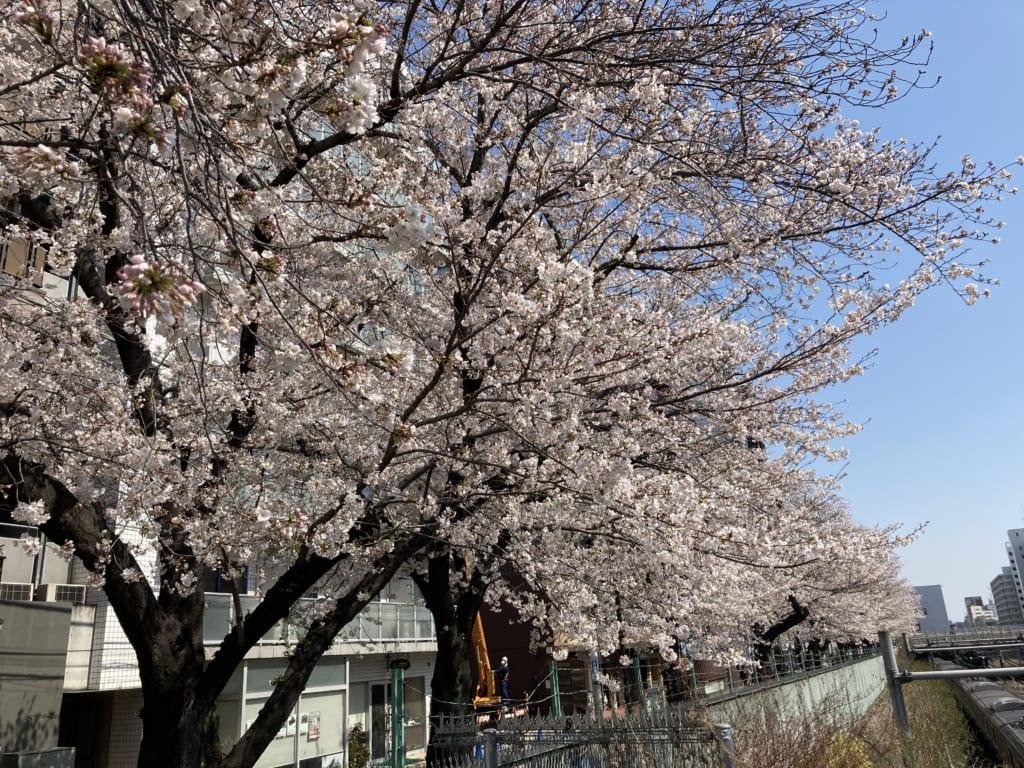 巣鴨駅近くの桜